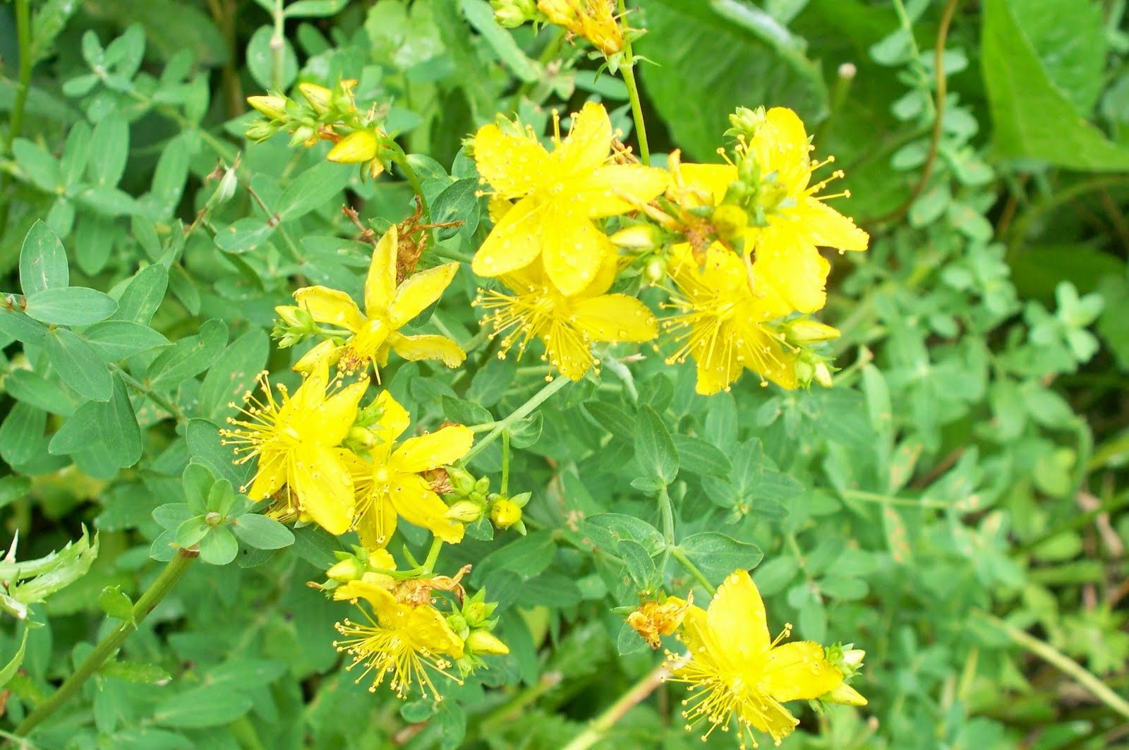 Yellow flower herb choice image flower decoration ideas yellow flower herb image collections flower decoration ideas yellow flower herb choice image flower decoration ideas mightylinksfo