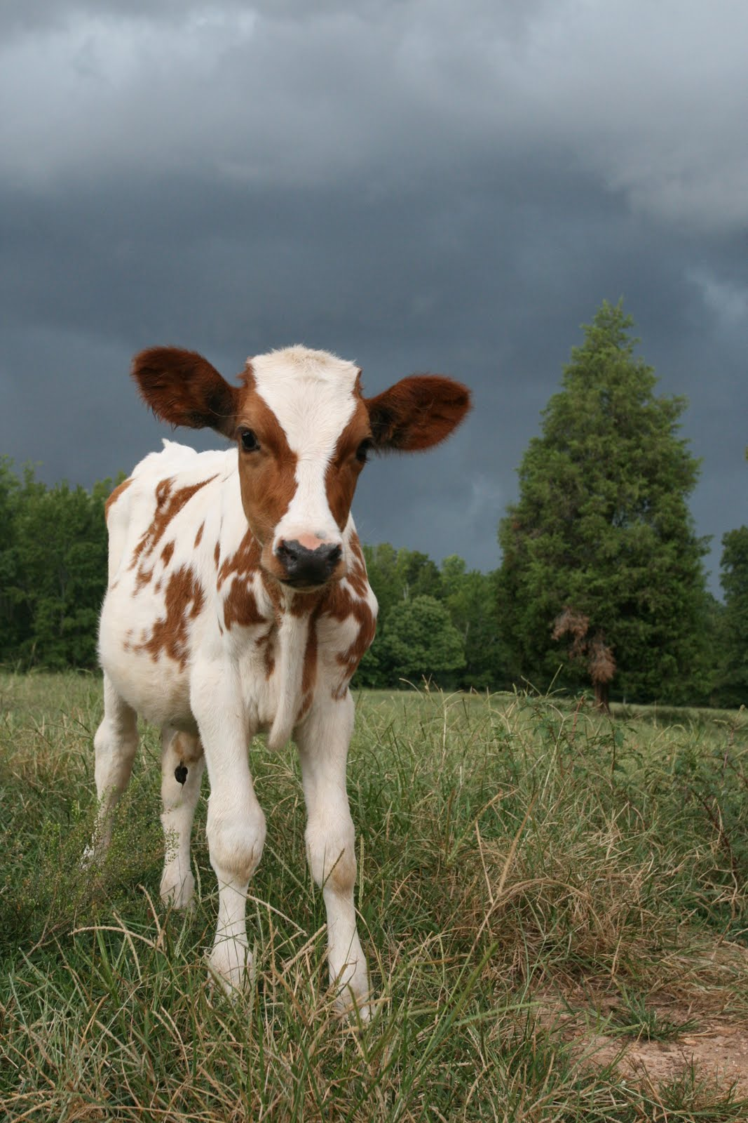 Faith Farm Foods  Cow Photoshoot
