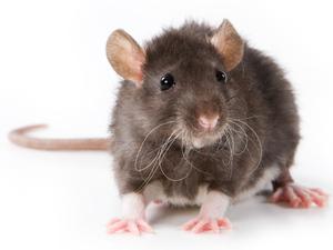 Adakah Tikus Akan Tolong Rakannya Yang Terperangkap?