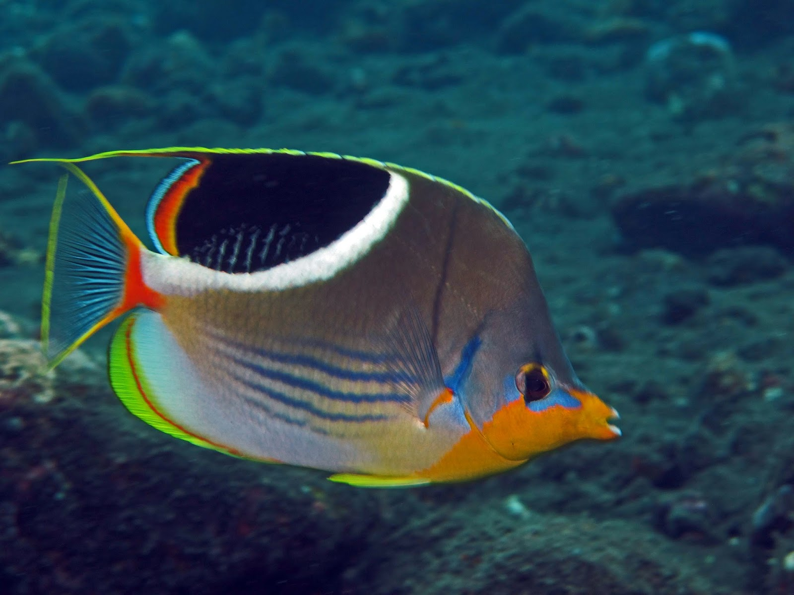 Peces y plantas ornamentales chaetodon ephippium pez for Manual de peces ornamentales