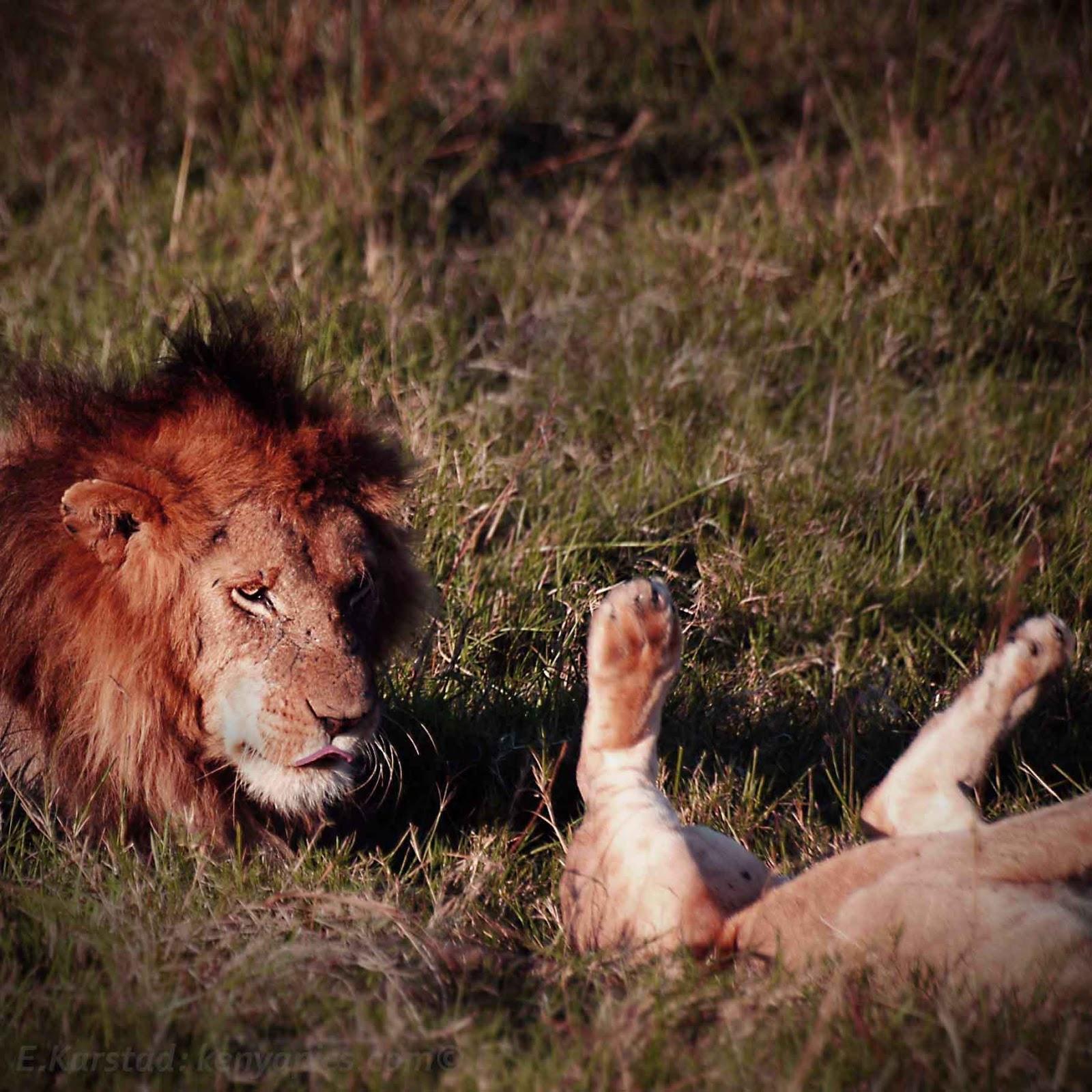 Секс и жизнь со львом