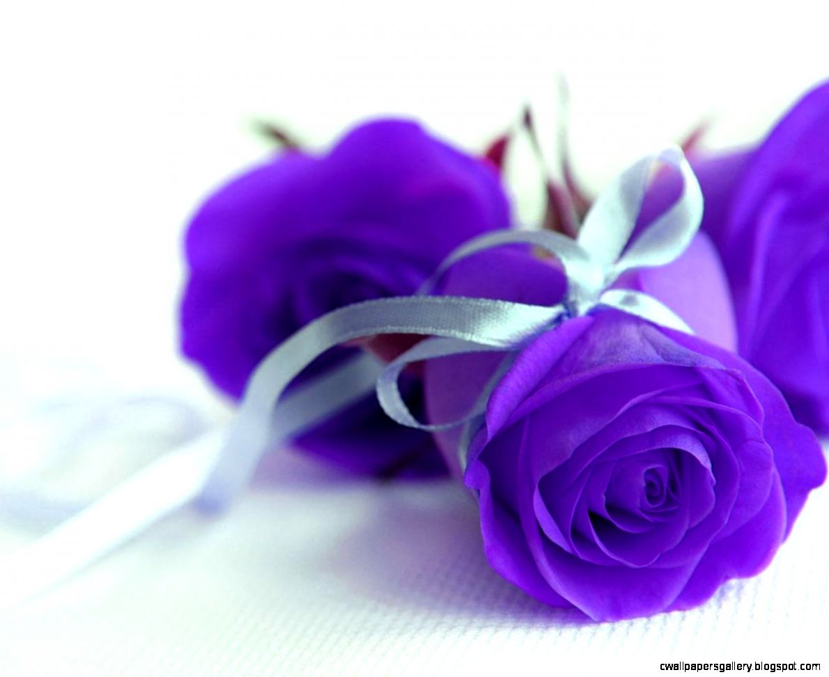 Purple Rose Images  Full HD Pictures