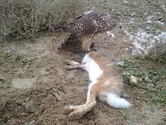 Azor atrapando liebre