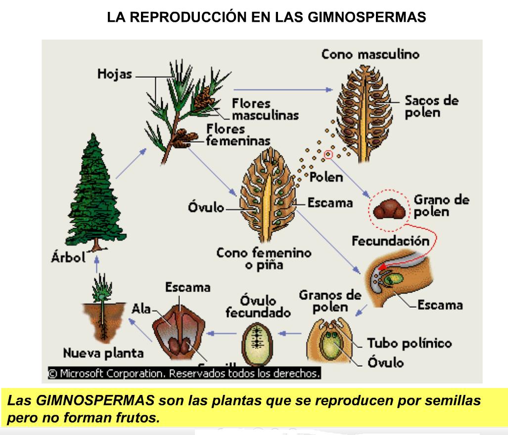 forma reproduccion semilla: