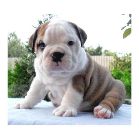 English Bulldog Puppies For Sale In Alaska English Bulldog Puppies
