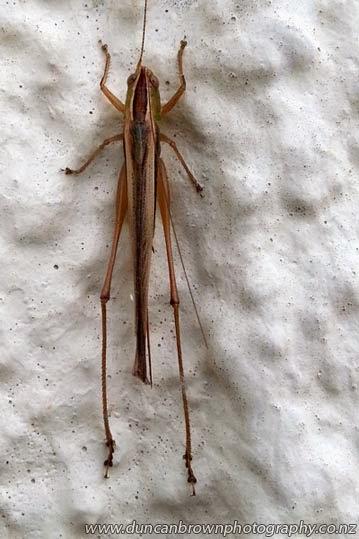 A migratory locust (Locusta migratoria Linnaeus) photograph