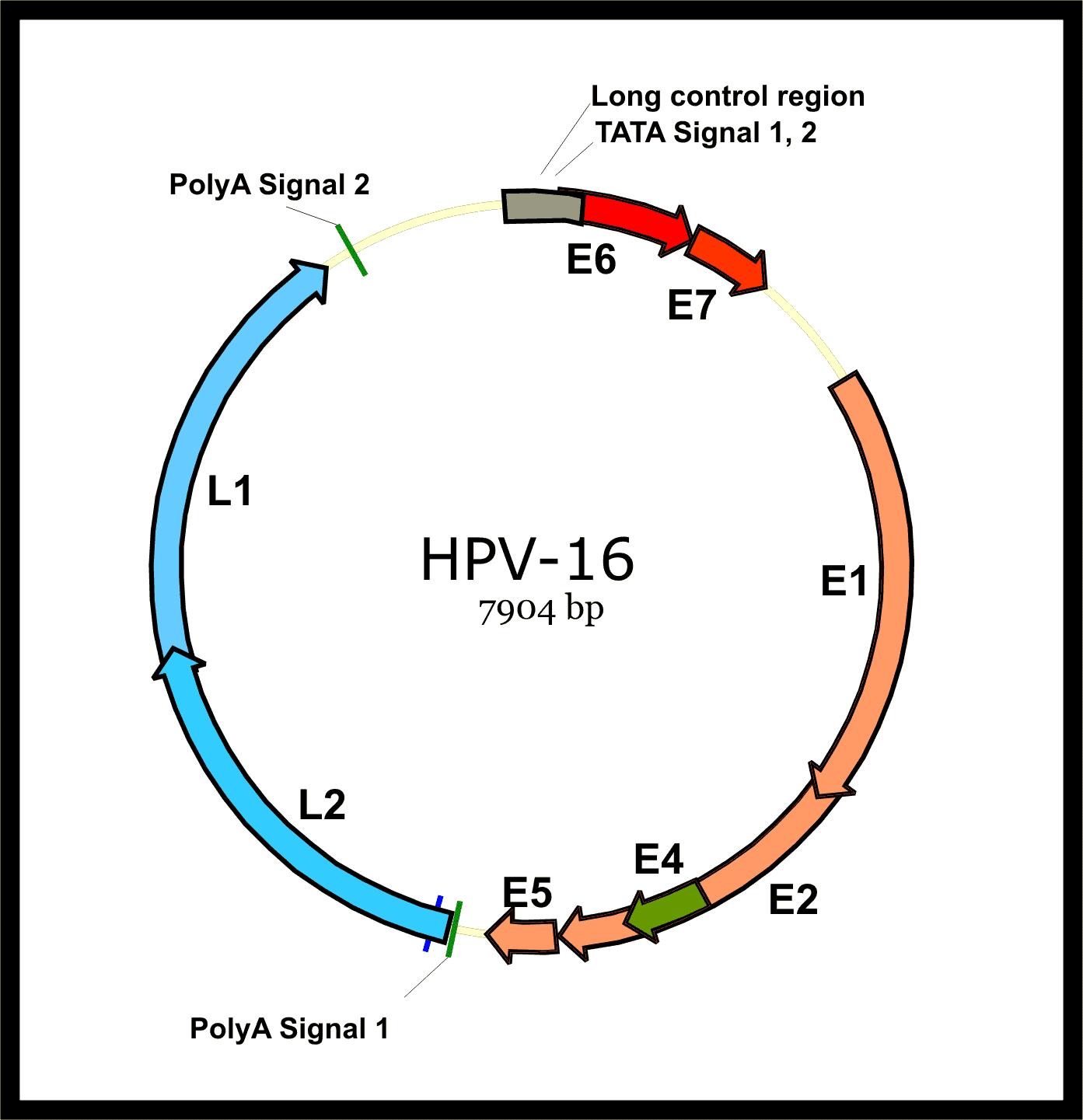 Cấu trúc Papillomavirus. Ảnh mô phỏng.