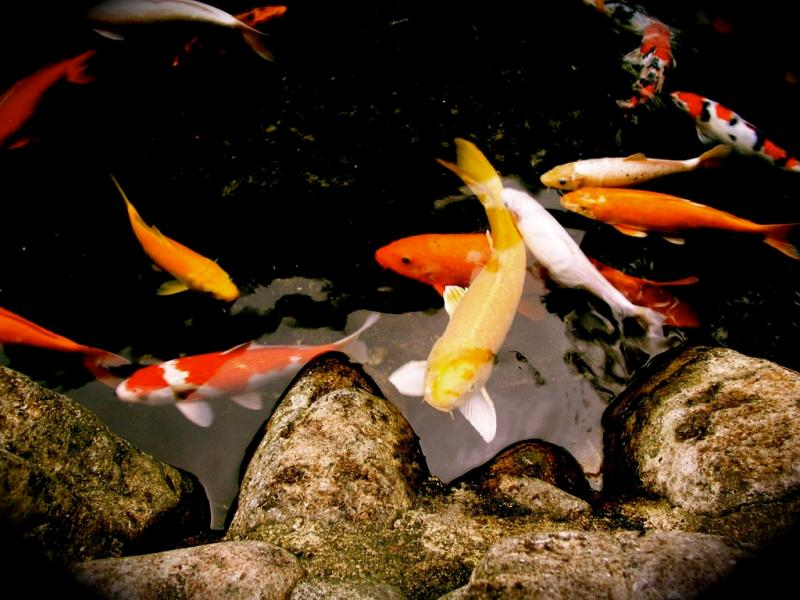Wallpapers unlimited japanese colorful koi fish for Koi fish colors