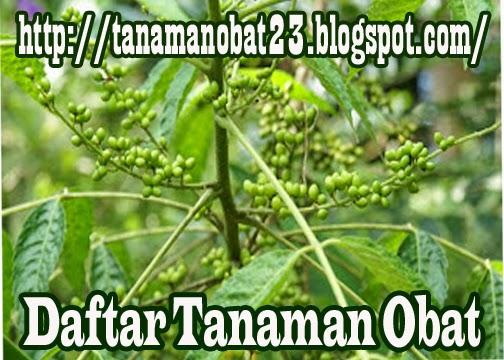 Tanaman Obat Kwalot (Brucea javanica (L.) Merr.)