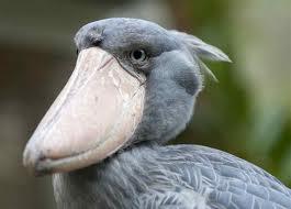 Shoebill storks