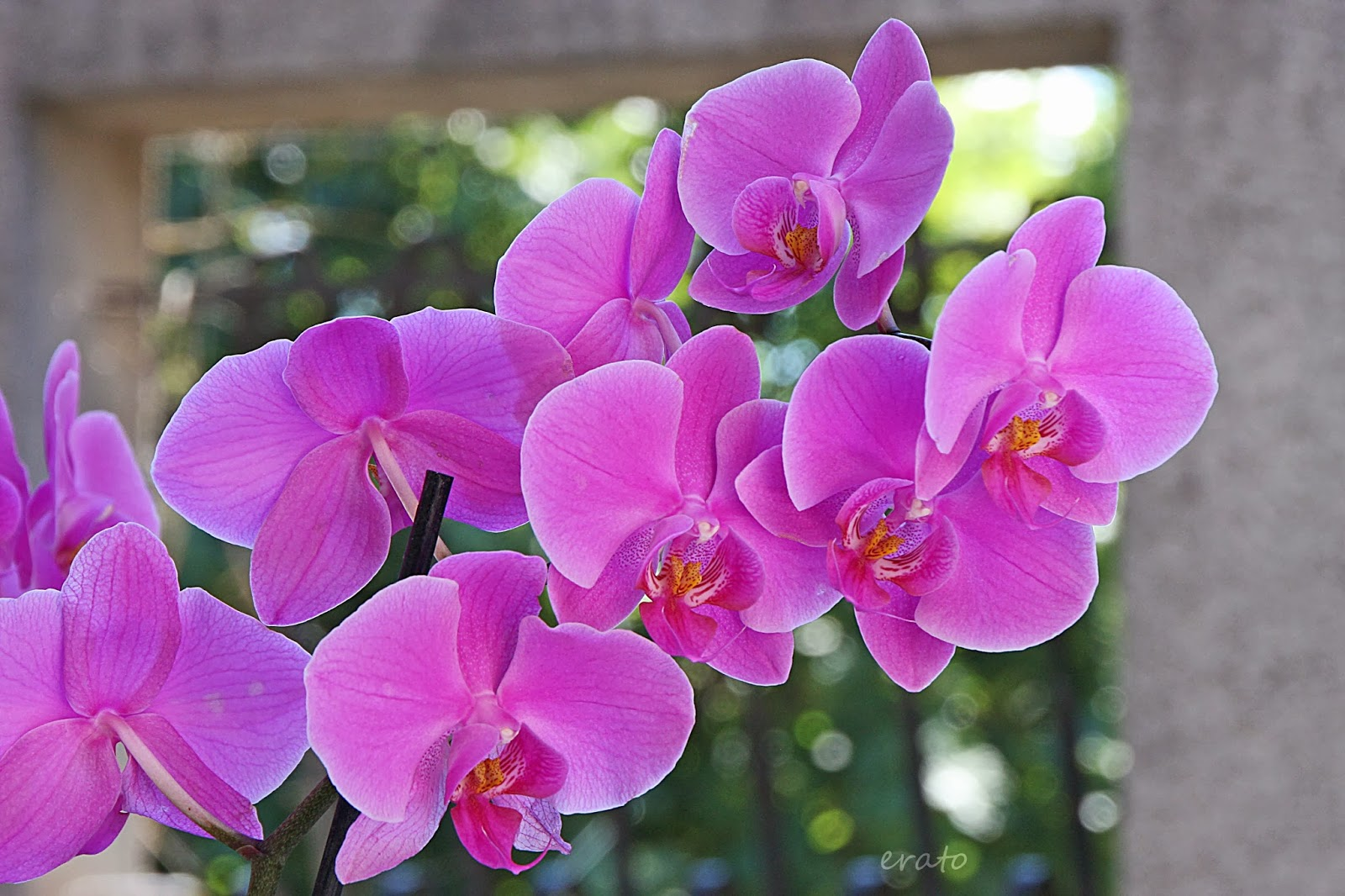 r veries l 39 orchid e phalaenopsis. Black Bedroom Furniture Sets. Home Design Ideas