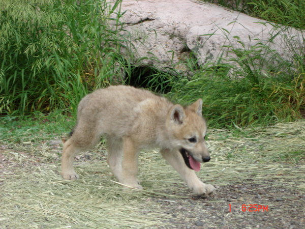 White Wolf Photos Beautiful Wolf Pups They Are The Future