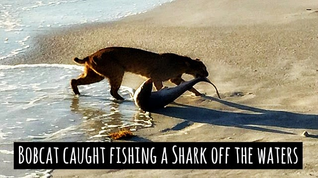 Watch bobcat catch a shark at the florida beach and drag the 4 meter shark of the waters via geniushowto.blogspot.com rare wildlife encounters caught on camera