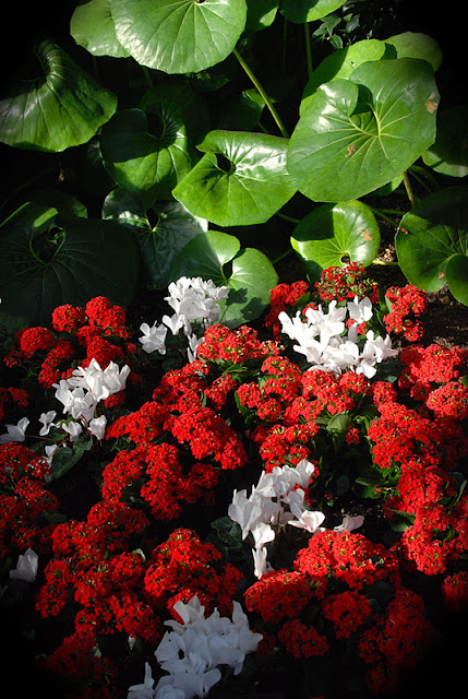 White Cyclamens and red Pentas in the East Conservatory