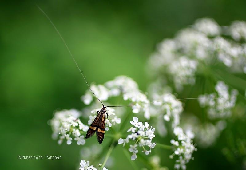 male Longhorn Moth (Nemophora degeerella)