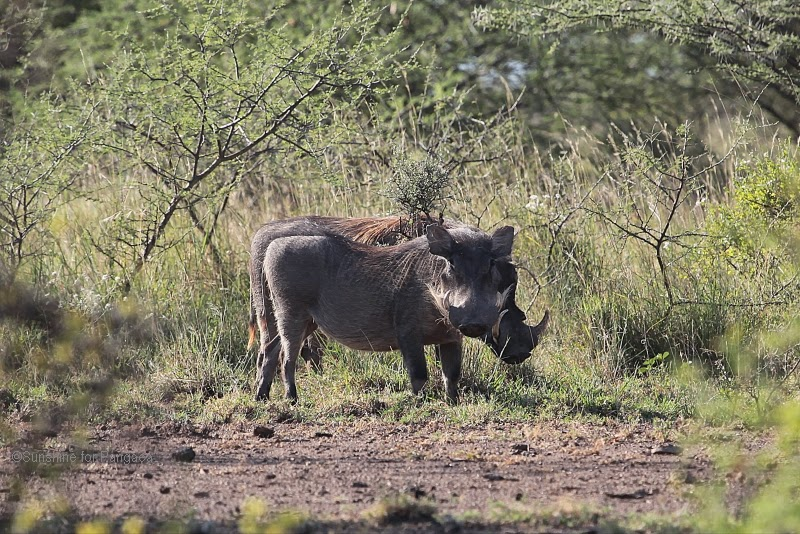 Warthogs in the Awash National Park Ethiopia
