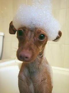 Cão com espuma na cabeça