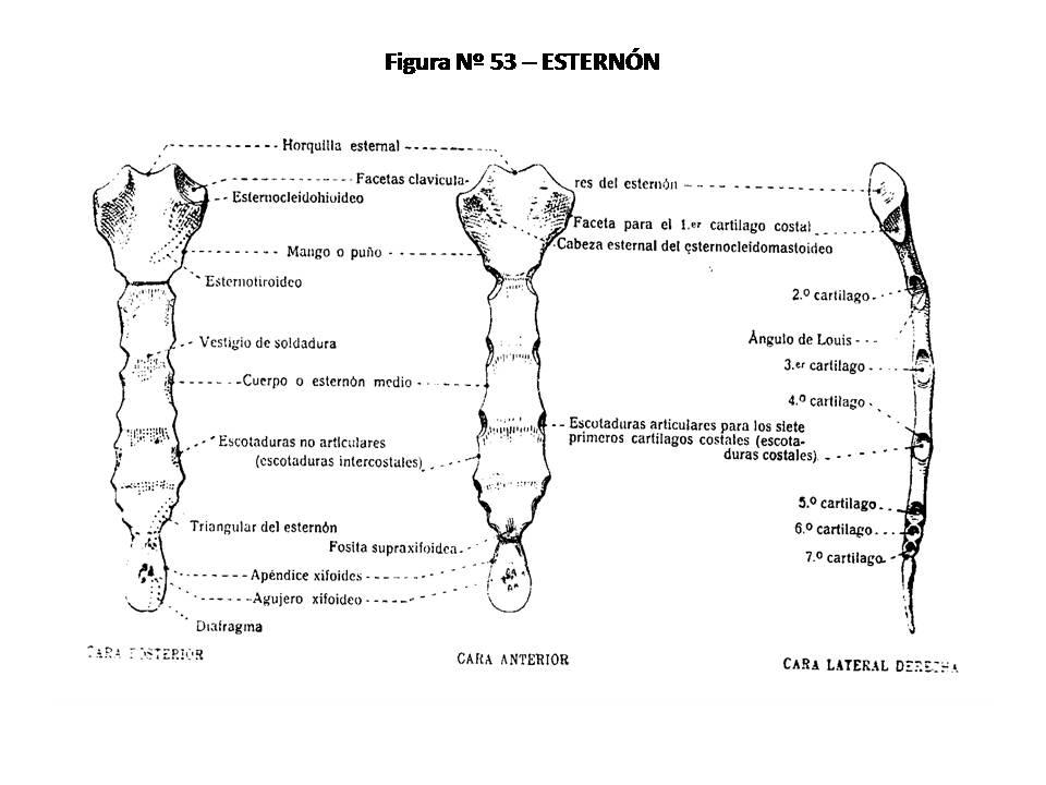 Atlas De Anatom A Humana 53 Estern N