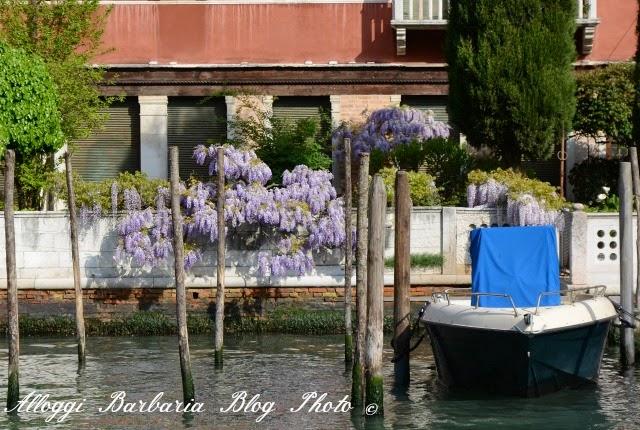 Glicini a Venezia