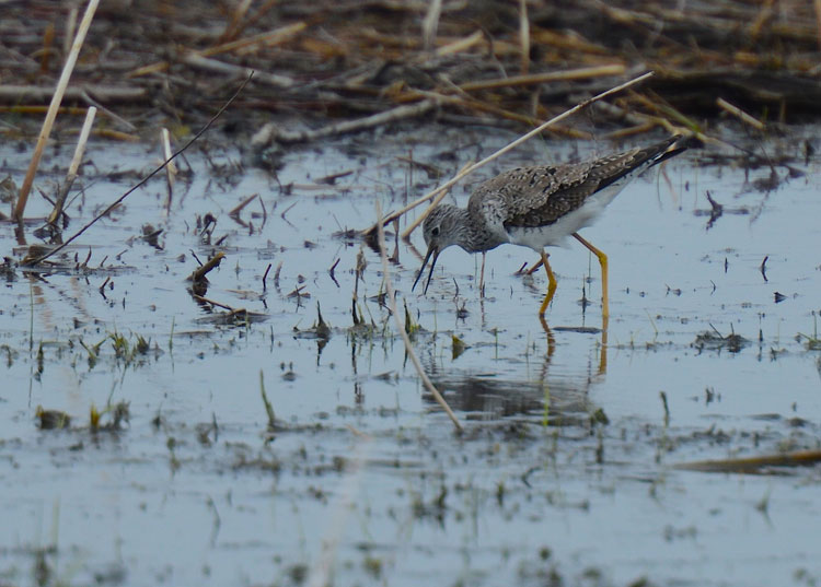 "A Lesser Yellowlegs gets ready to nab dinner while ""fishing"" in a vernal pool at VOA MetroPark."