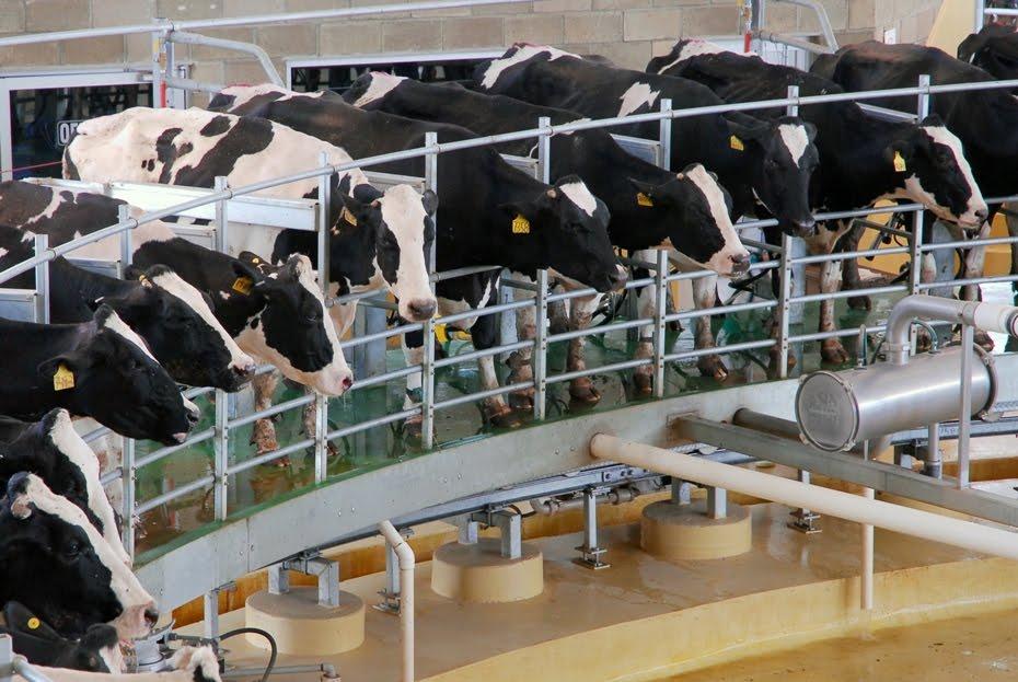 Todas estas son madres separadas de sus hijos a la fuerza para ordeñarles su leche hasta la muerte.