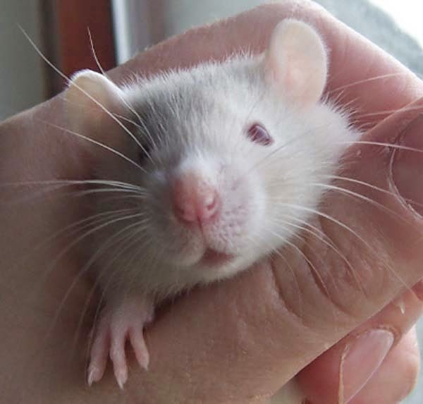 Here Are 24 Awesome Things You Didn't Know About Animals. #11 Just Made My Week. - Rats can laugh