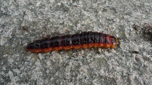 Vanlig träfjäril vedborre - Cossus cossus