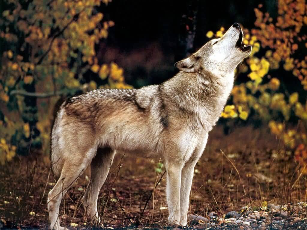 White Wolf National Awareness Week