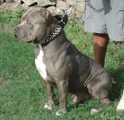 American Pitbull Dog. American Pitbull Dog