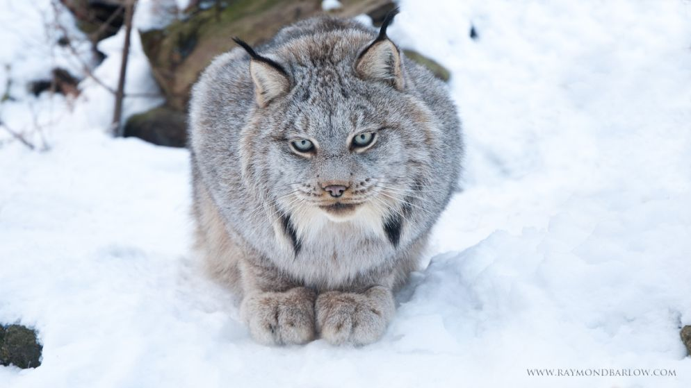 8. Photograph Canadian Lynx by Raymond Barlow