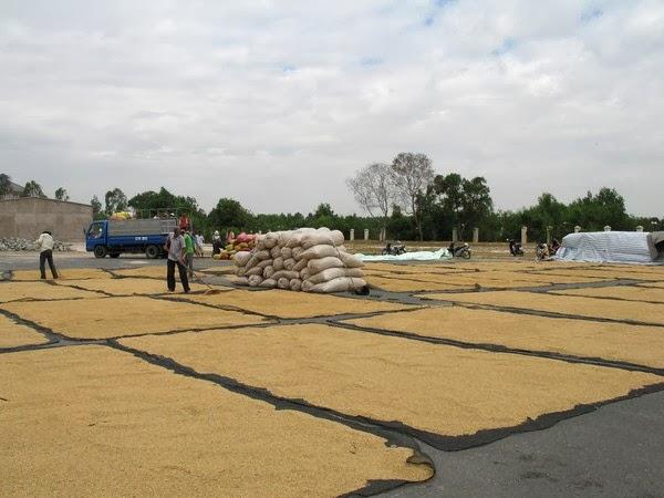 """Sản xuất lúa Đông Xuân: Tránh """"được mùa rớt giá"""""""