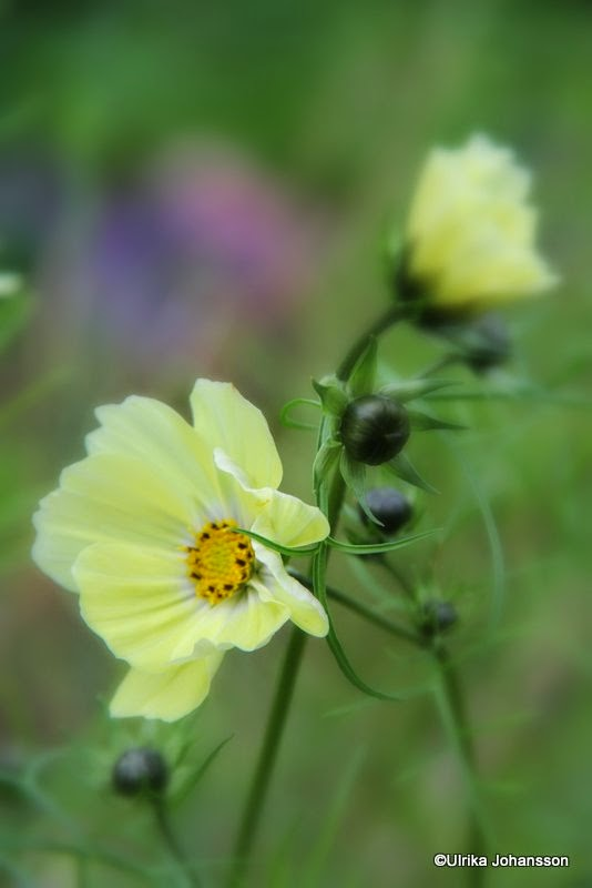 Cosmos bipinnatus 'Sunset Yellow'