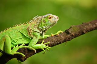 desordenes nutricionales en la iguana