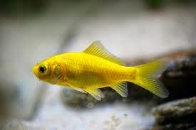 Todopescado goldfish for Peces goldfish tipos