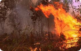 Kebakaran Hutan di Merauke Disengaja