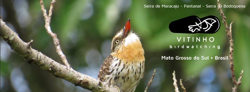 Vitinho Birdwatching Guide
