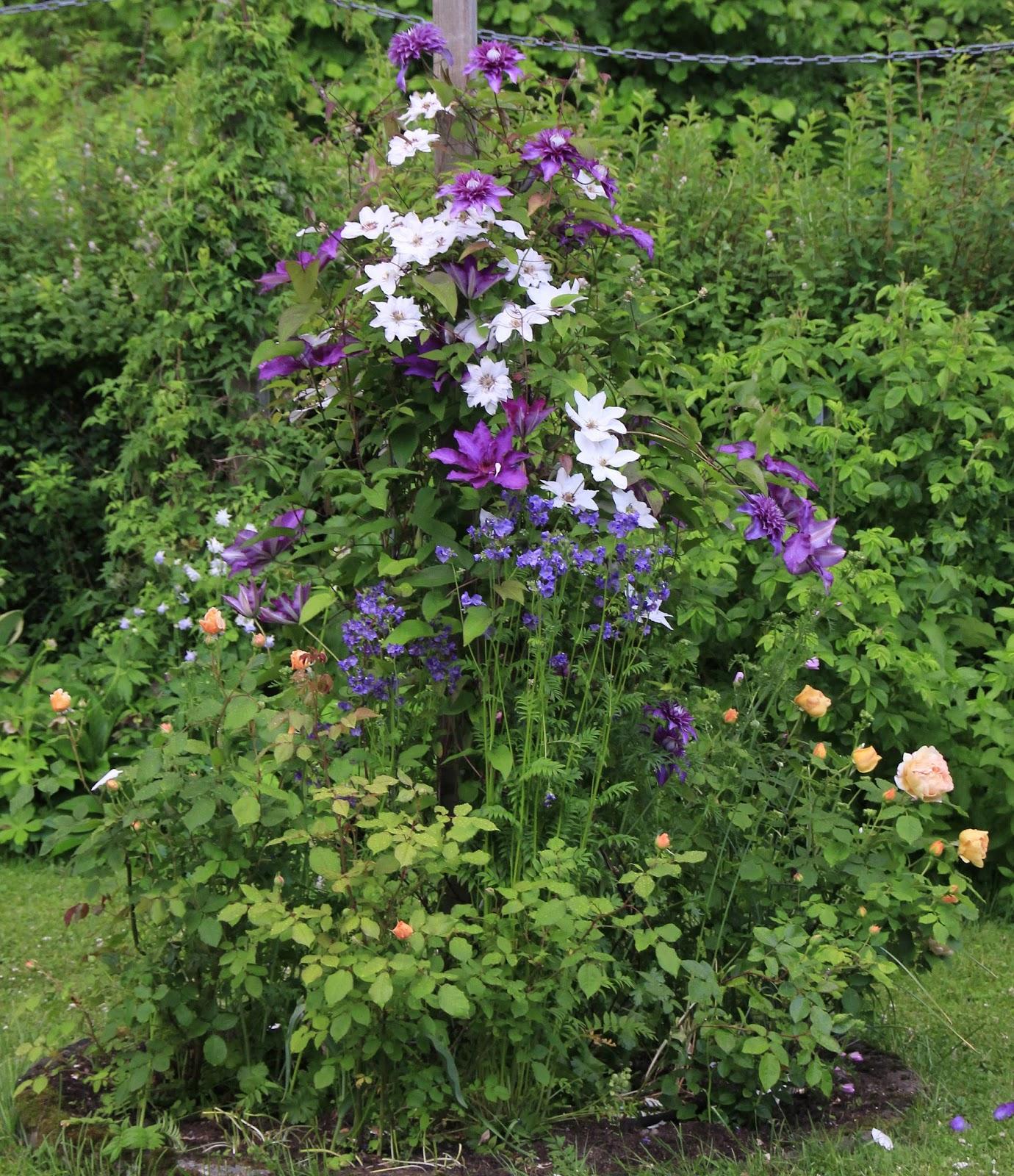 torils garden clematis miss bateman er en av de. Black Bedroom Furniture Sets. Home Design Ideas