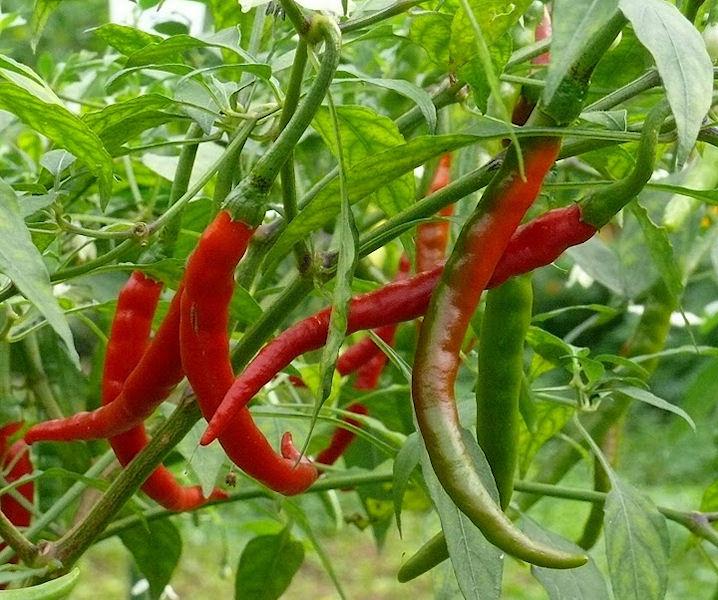 Taking root farm nursery the cayenne pepper plant - Planting pepper garden ...