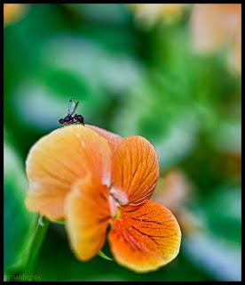 A fly on a flower shot in macro