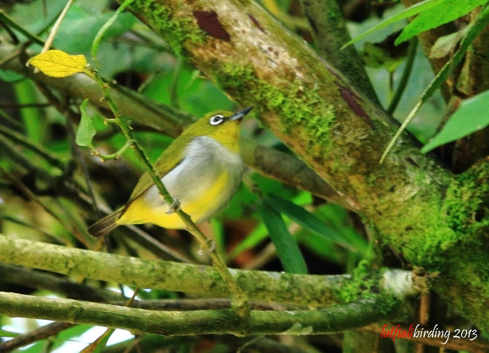LUTFIALI BIRD PHOTOGRA...