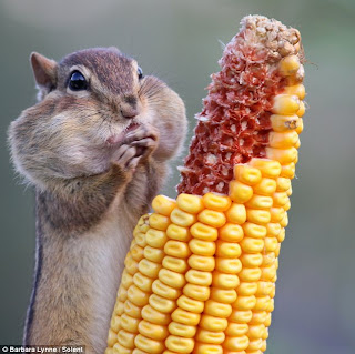A chipmunk stuffs its cheeks with corn