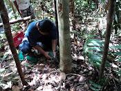 inokulasi pohon gaharu