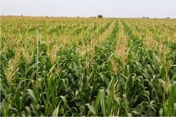 Cultivo de Maiz un legado de Azteca