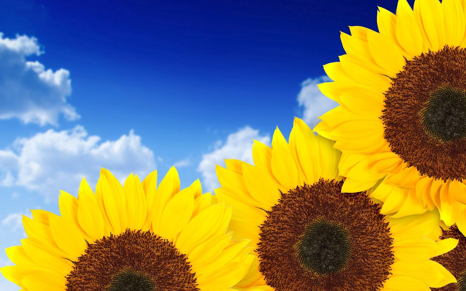 sunflowers hd wallpaper