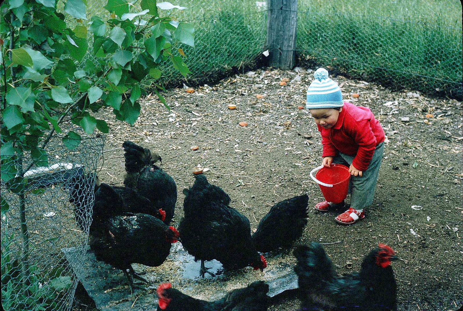 Feeding chickens. Photo: Heather Forsyth