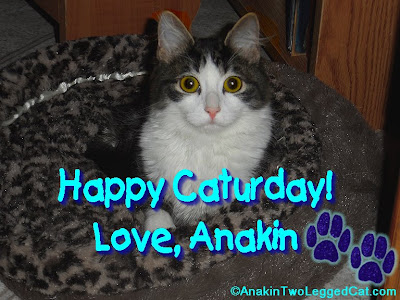 Happy Caturday Love Anakin The Two Legged Cat, Anakin relaxing in his new leopard print bed.