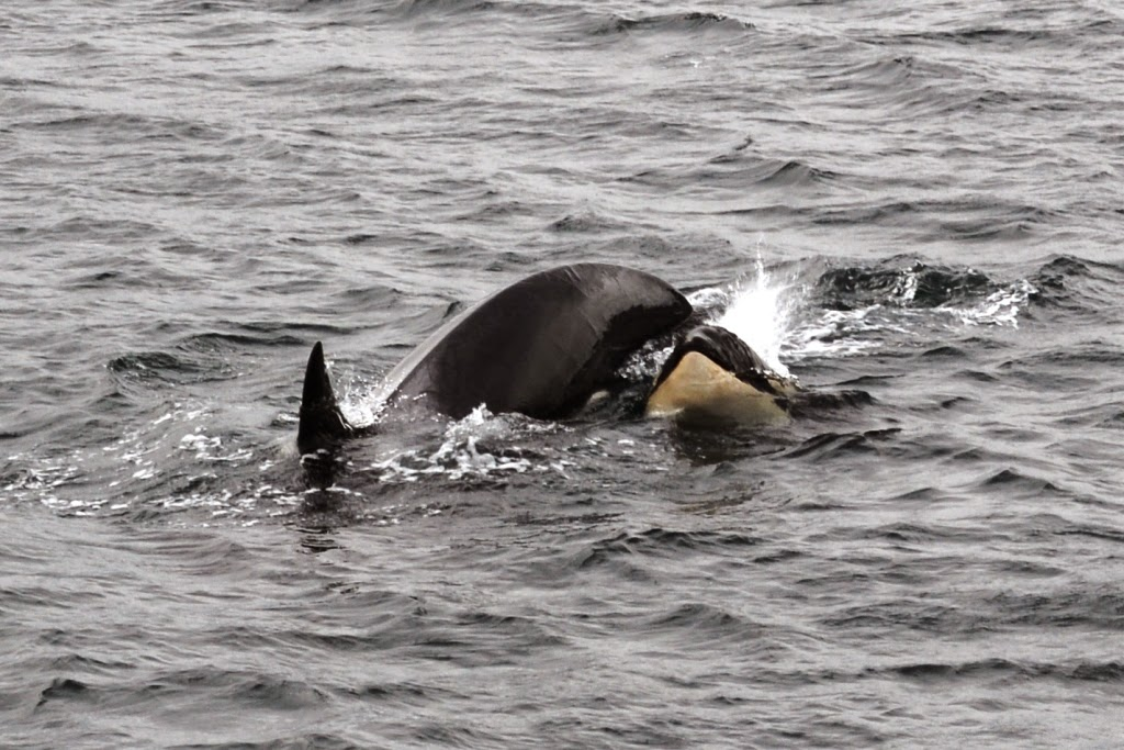 Beagle Canal orca baby