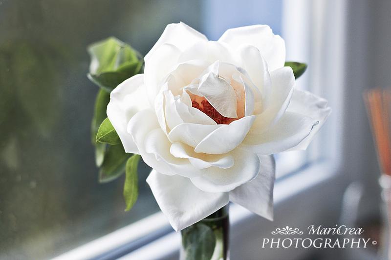 rosa a casa mia