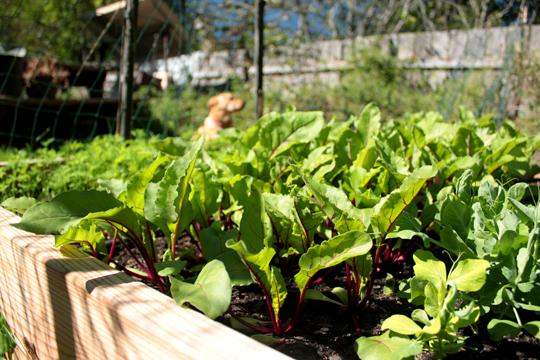 garden beets