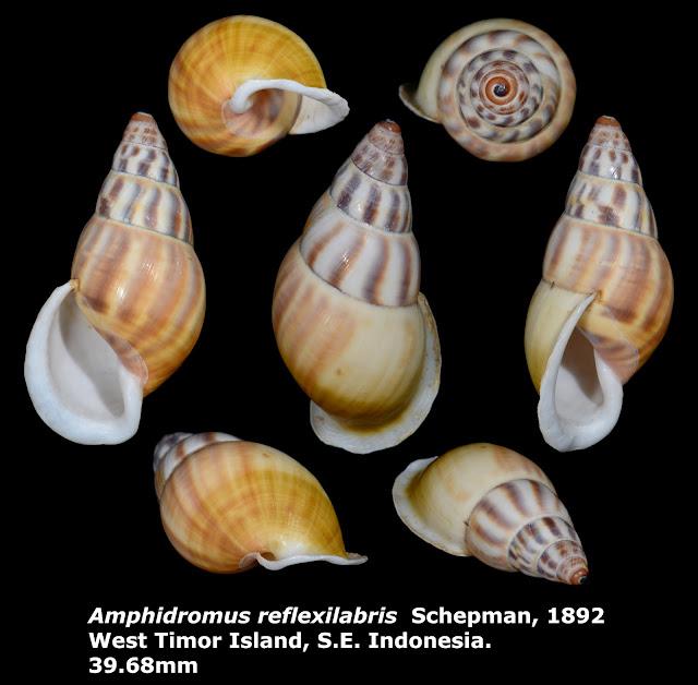 Amphidromus reflexilabris 39.68mm